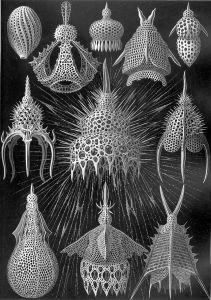 Haeckel, planche des Cyrtoidea